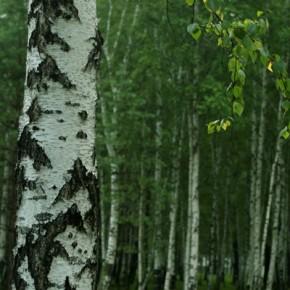 하바로프스크 뱌츠코예 자작나무 숲